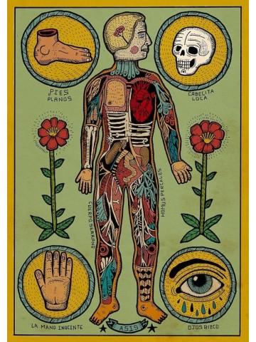 Lámina Anatomía de un cuerpo sesi - Asis Percales